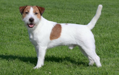 Jack Russell dog breed profile