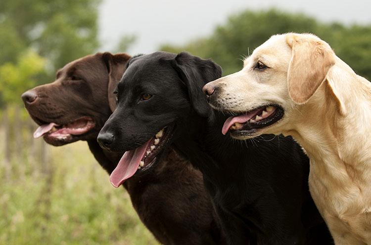 Labrador Retriever dog breed profile