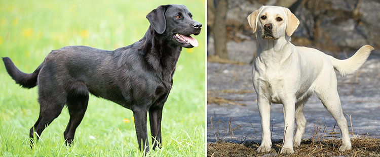 Labrador retriever dog breed profile