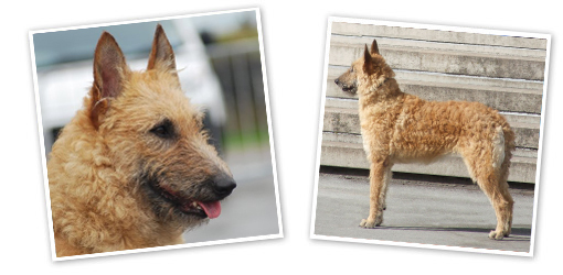 Belgian Shepherd Laekenois dog breed profile