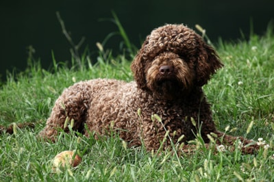 Lagotto Romagnolo dog breed profile