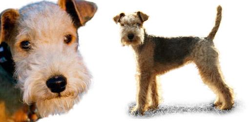 Lakeland Terrier Weight lakelandterrierdogbree...