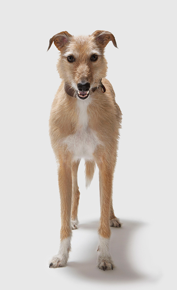 Lurcher dog breed profile