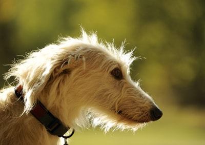 Lurcher dog breed profile