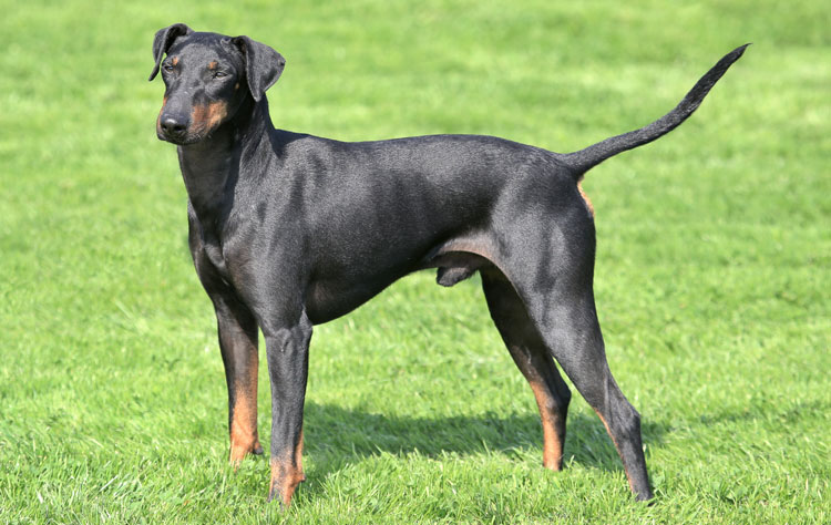 Manchester Terrier dog breed profile