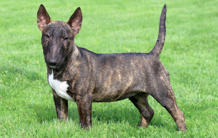 Miniature Bull Terrier dog breed profile