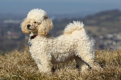 Miniature Poodle Dog Breed Profile