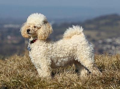 Miniature Poodle Dog Breed Profile