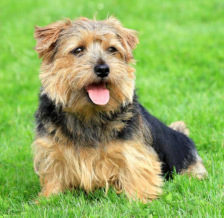 norfolk_terrier.jpg