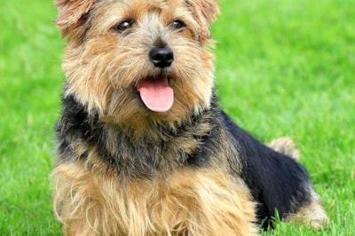 Norfolk Terrier breed profile