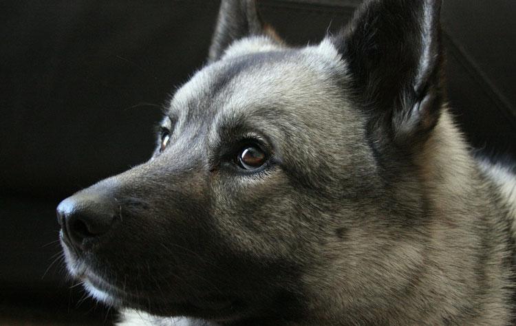 Norwegian Elkhound Dog Breed Profile