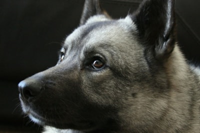 Norwegian Elkhound Dog Breed Profile