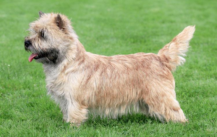 Norwich Terrier dog breed profile