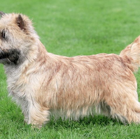 Norwich Terrier dog breed profile