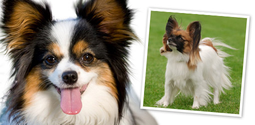 Small Breeds Dog Who Are Good Jogging Companions