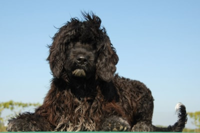 Portuguese Water Dog Breed Profile