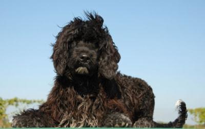 Portuguese Water Dog Breed Profile
