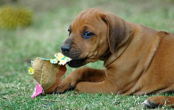 Why does my puppy chew everything?