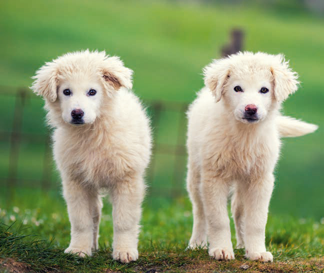 Pyrenean Mountain Dog breed profile