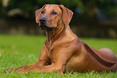 Rhodesian Ridgeback dog breed profile