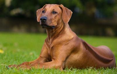 Rhodesian Ridgeback dog breed profile