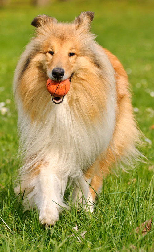 Rough Collie breed profile