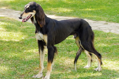 Saluki Dog Breed Profile