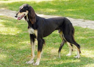 Saluki Dog Breed Profile