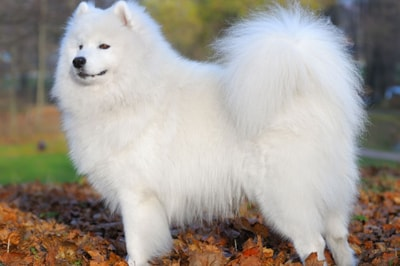 Samoyed Dog Breed Profile