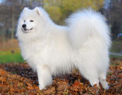 Samoyed Dog Breed Profile