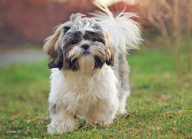 Shih Tzu dog breed profile