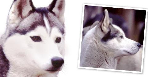 siberianhuskydogbreedprofile - Your Dog