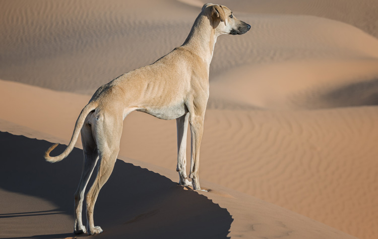 Sloughi dog breed profile