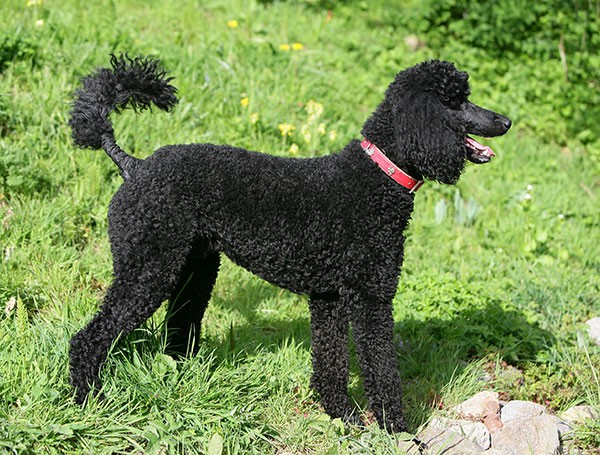 Standard Poodle dog breed profile