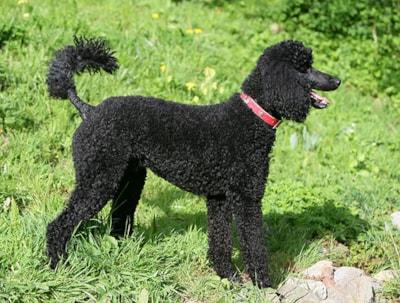 Standard Poodle dog breed profile