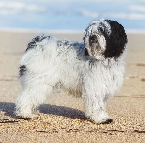 Tibetan Terrier breed profile