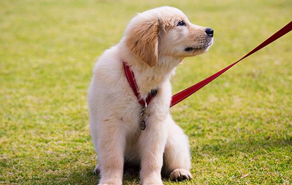 How far should I walk my puppy