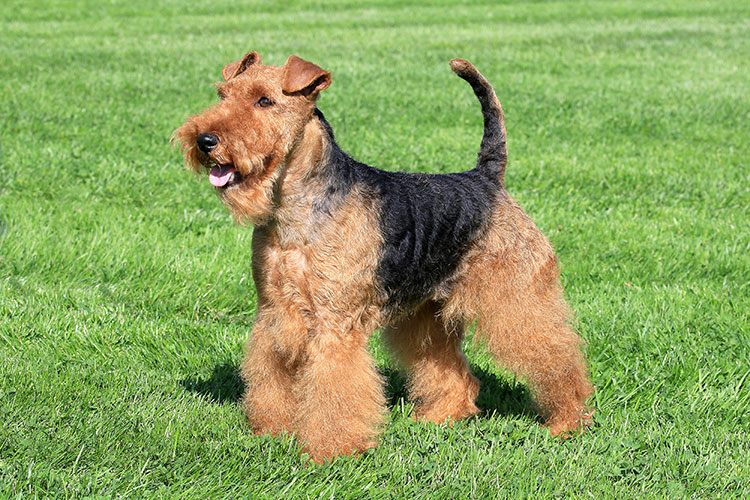 Welsh Terrier breed profile