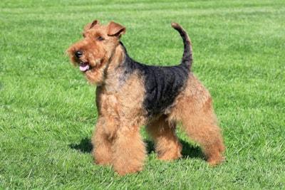 Welsh Terrier breed profile