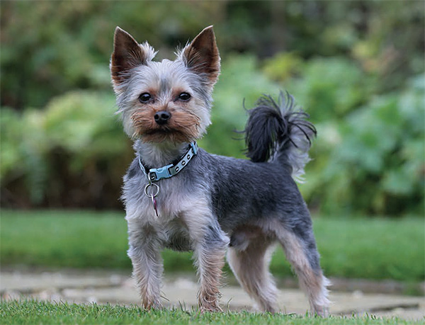 Yorkshire Terrier dog breed profile